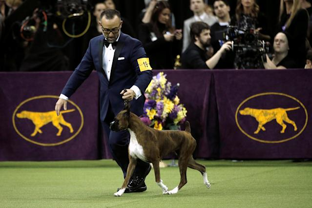 REFILE - CORRECTING HIS HANDLER TO HER HANDLER Devlin, a Boxer, and winner of the Working Group is run by her handler Diego Garcia during judging at the 141st Westminster Kennel Club Dog Show at Madison Square Garden in New York City, U.S., February 14, 2017. REUTERS/Mike Segar
