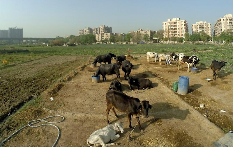 Stray cattle are a common sight in India, where an Argentine tourist was gored to death