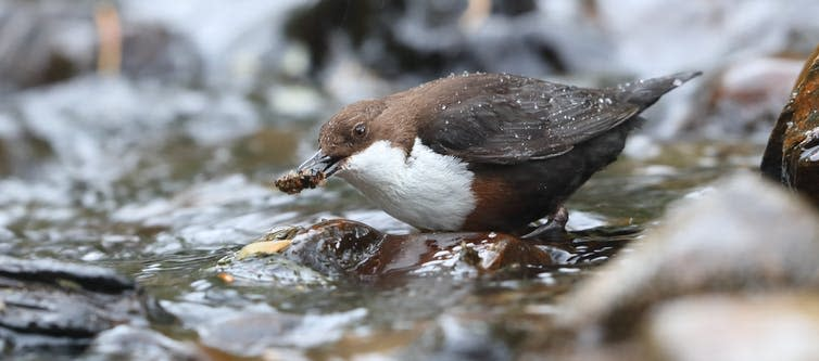 A small brown bird with a white chest plucks a small bug from a shallow stream.