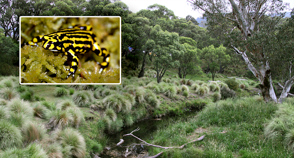 A northern corroboree frog inset against a picture of Kosciuszko National Park.
