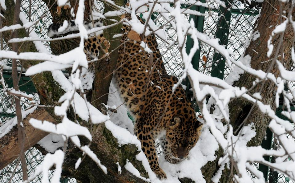 <p>The four-year-old girl, suspected to have been killed by a leopard, went missing from her lawn in Budgam district of Kashmir </p> (AFP via Getty Images)