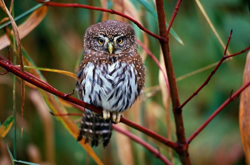 """<p>The Owl Research Institute says this diminutive predator, also known as a California or Mountain Pygmy Owl, <a href=""""https://www.owlresearchinstitute.org/northern-pygmy-owl"""" rel=""""nofollow noopener"""" target=""""_blank"""" data-ylk=""""slk:tips the scales between 2.2 and 2.5 ounces"""" class=""""link rapid-noclick-resp"""">tips the scales between 2.2 and 2.5 ounces</a>. They grow to about 6 to 7 inches, but that doesn't stop them from taking down medium-sized birds and small mammals like any other birds of prey. </p>"""