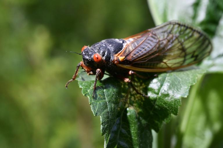 Cicadas do not bite or sting people, but they fly clumsily and often bump into cars, windows and people