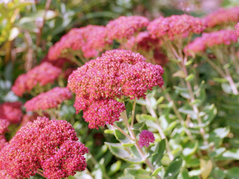 "<p>With hundreds of varieties of sedum, you'll find one you love. Its fleshy leaves help it survive dry spells, and its muted colors are welcome in the late season garden when almost everything else has faded. The cut blooms last almost forever in a vase! Sedum requires full sun.</p><p><a class=""link rapid-noclick-resp"" href=""https://www.provenwinners.com/plants/sedum/rock-n-grow-superstar-stonecrop-sedum-hybrid"" rel=""nofollow noopener"" target=""_blank"" data-ylk=""slk:SHOP SEDUM"">SHOP SEDUM</a></p>"