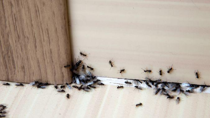 ant trail inside a home