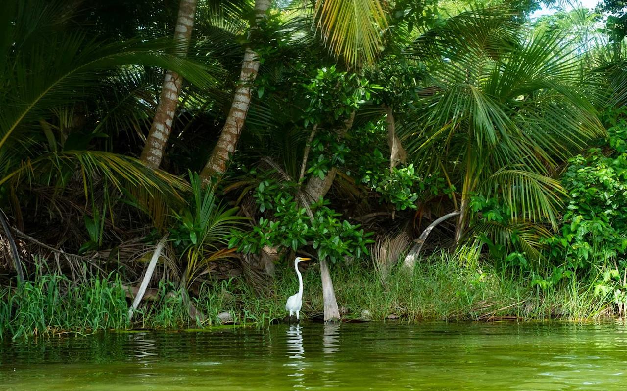 <p>You'll find these beautiful, elegant Great Egrets around the resort, especially at the koi pond near the main house looking for some snacks.</p>