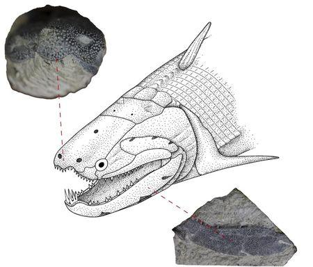 Undated illustration shows the Early Devonian bony fish called Psarolepis romeri found in south China