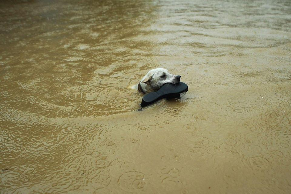 <p>A dog swims to safety during a massive flood in the Philippines in 2014. According to reports, a river in the eastern part of Manila burst its banks, leading to the evacuation of over 20,000 people.</p>