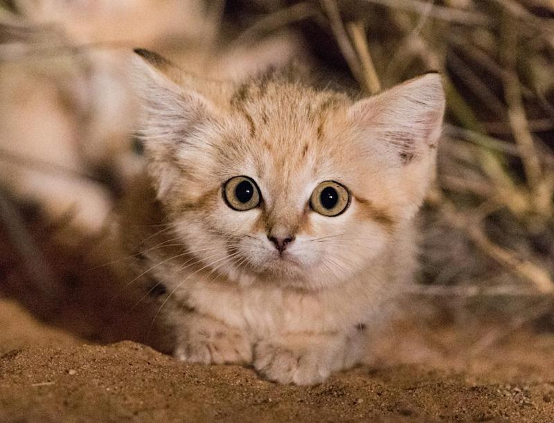 The kittens are thought to have been between six and eight weeks old. (Gregory Breton/Panthera)