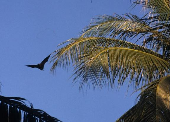 Flying Foxes (Actually Bats) on Remote Island Studied for First Time