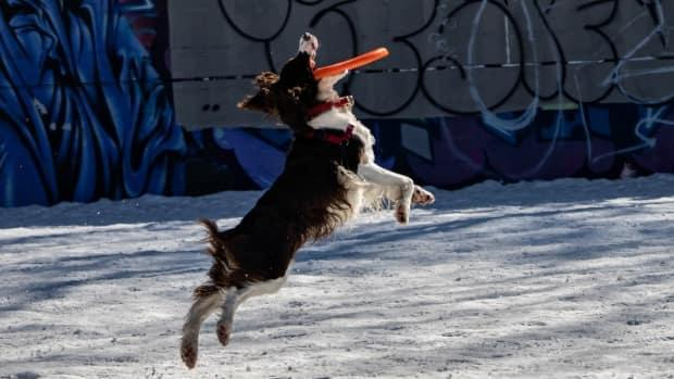 A dog goes up for a catch at a dog park at the corner of Ottawa's Slater Street and Bronson Avenue in March 2021.