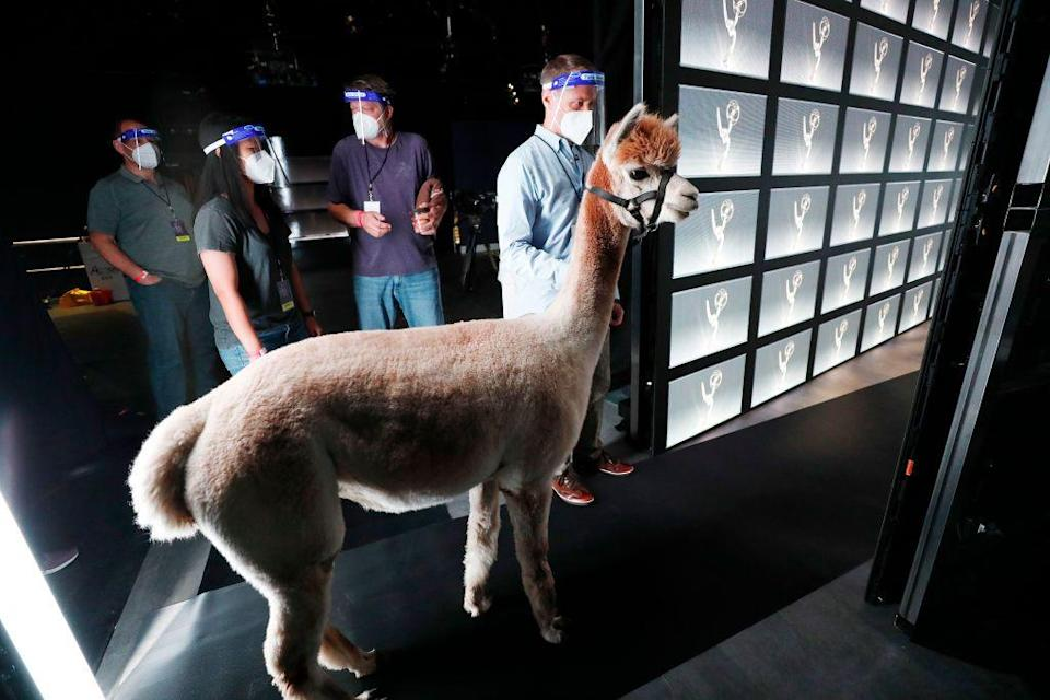<p>Randall Park presented the Emmy for Outstanding Writing for a Limited Series or Movie alongside an alpaca. For no reason. Confusing, but cute. <br><br><br></p>