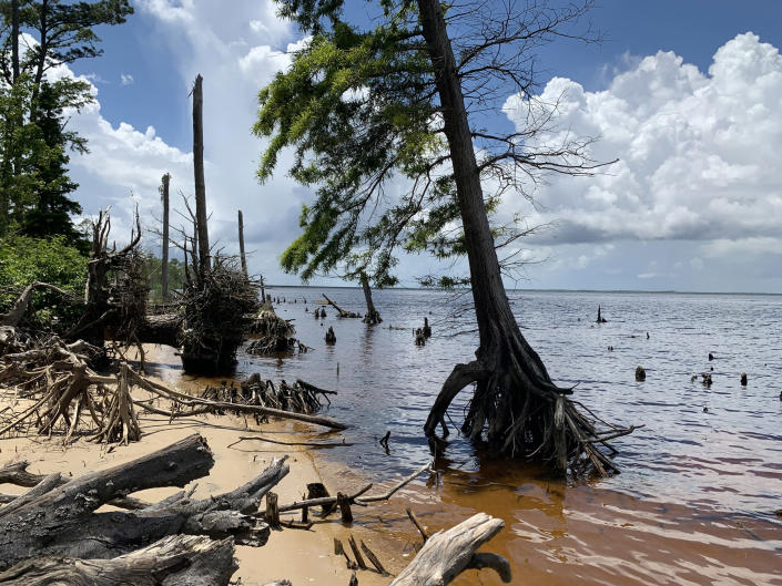 Forests are dying up and down the East Coast and along the Gulf Coast due to climate change. Researchers are studying trees like these at the Alligator River in North Carolina that are forming ghost forests. (Marcelo Ardon / North Carolina State University)