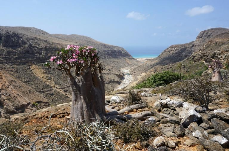 A flowering bottle tree, or desert rose, in the Hagher Mountains on the centre of the Yemeni island of Socotra, part of the remarkable flora found only here