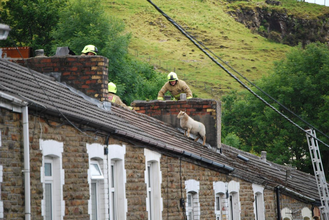 Firefighters came to the rescue of a sheep last weekend after it climbed up and got stuck on the roof of a terraced house in Pontycymer, Wales. (Photo:SWNS)