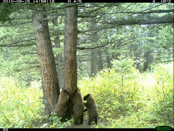 Three grizzly cubs sniff a rubbing tree in Waterton Lakes National Park.