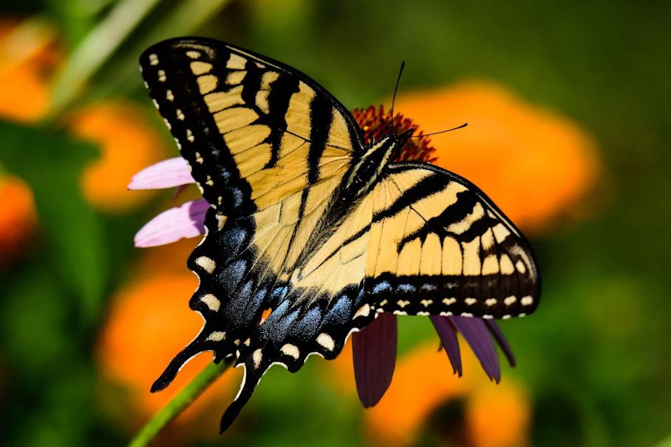 """<p><strong>Eastern Tiger Swallowtail Butterfly</strong></p><p>In 1989, Alabama made the monarch butterfly its state insect. But <a href=""""https://archives.alabama.gov/emblems/st_masct.html"""" rel=""""nofollow noopener"""" target=""""_blank"""" data-ylk=""""slk:that same year"""" class=""""link rapid-noclick-resp"""">that same year</a>, it declared the Eastern Tiger Swallowtail Butterfly (pictured) its state mascot and state butterfly.<strong><br></strong></p>"""