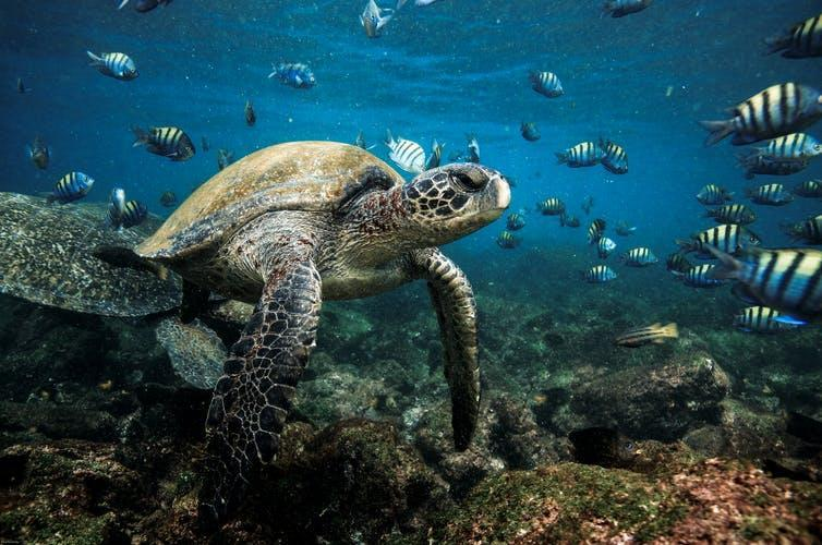 A turtle with small colourful fish