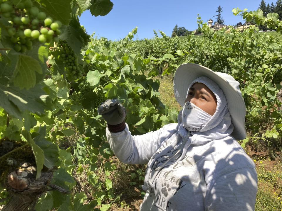 Alejandra Morales Buscio, of Salem, Oregon, reaches up to pull the leaf canopy over pinot noir grapes on Thursday, July 8, 2021, to shade the fruit from the sun, at Willamette Valley Vineyards in Turner, Ore. After a recent record heat wave and more hot weather expected, workers in several Pacific Northwest wineries will trim less of the leaf canopy to keep the grapes shaded and prevent sunburn. Winemakers are worried about what's still ahead this summer amid a historic drought tied to climate change and wildfire risk. (AP Photo/Andrew Selsky)
