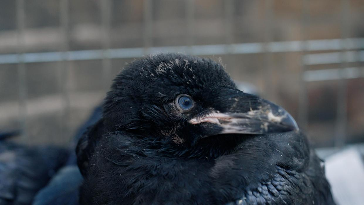 A baby raven at the Tower of London - the raven is looking to its left, with a black and pale beak and a blue eye. In the background are the bars of the cage