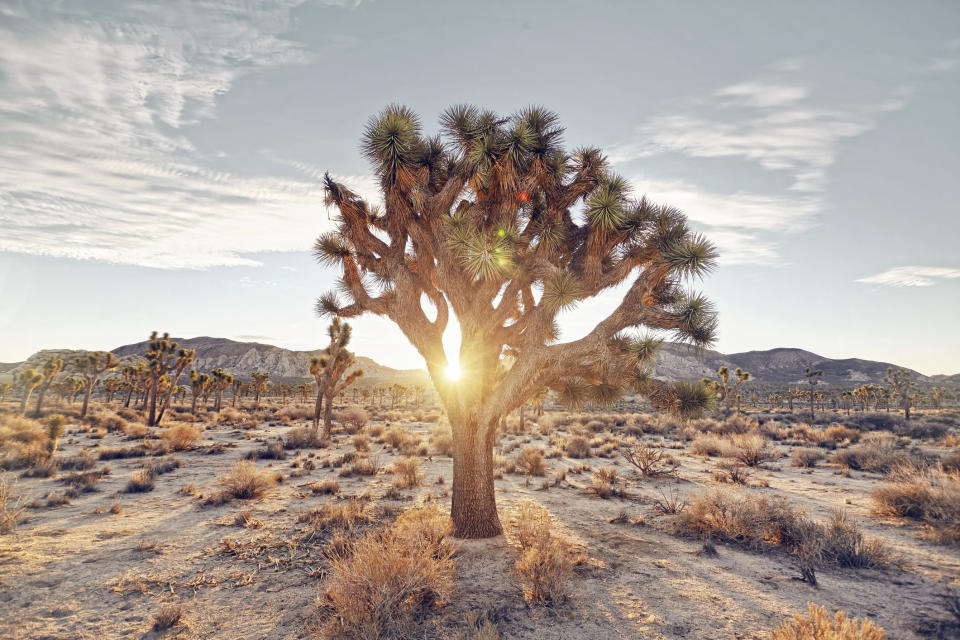 sunrise filtering through the famous joshua trees