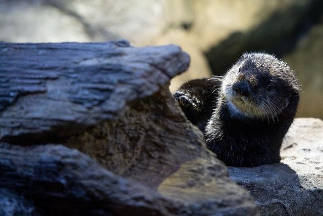 Sea Otters to come to Birmingham