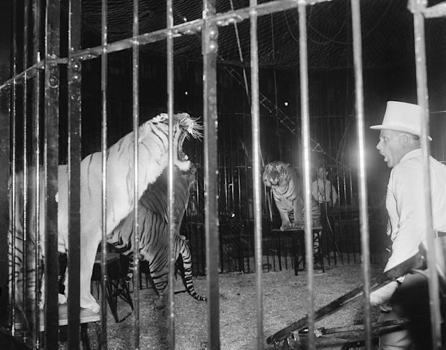 <p>Animal trainer Trevor Bale growls at one of his Royal Bengal tigers as he puts him through his paces at the opening performance of the Ringling Brothers and Barnum & Bailey's Circus in New York, March 31, 1955. Not to be outdone, the tiger growls back. (AP Photo/Marty Lederhandler) </p>