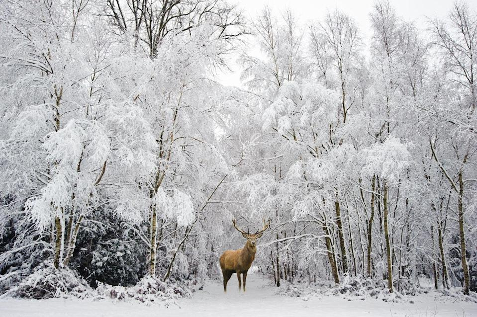 <p>What could be more majestic looking than this large red stag standing against a backdrop of snowy, icy trees? Not much! </p>