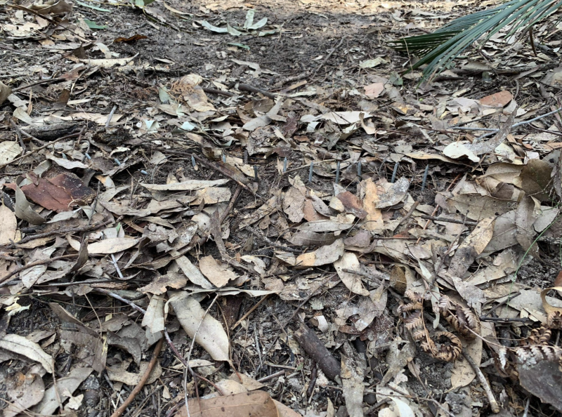 The booby trap hidden by leaves in the Bouddi National Park. Source: Scott Uzelac