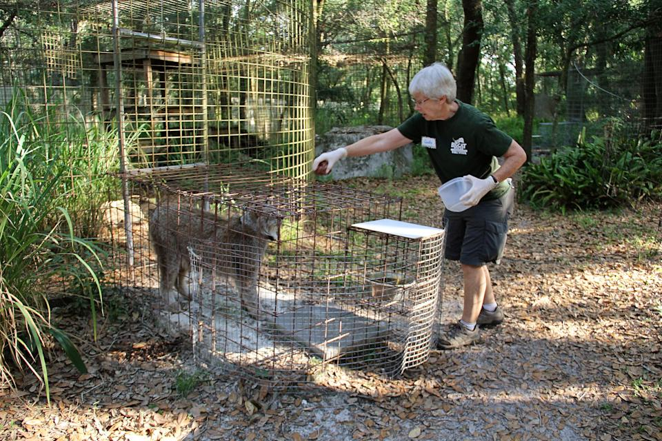 Candy Couser is pictured feeding a lynx at Big Cat Rescue in 2018.