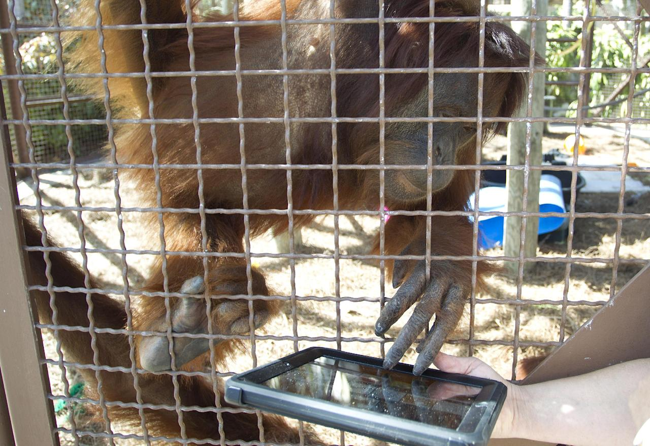 In this Feb. 21, 2012 photo, an orangutan works with an IPAD at Jungle Island in Miami. Experts who work with primates have been using sign language and other methods to communicate with apes for years. But with advancements in tablet computer technology, workers at Jungle Island in Miami are using iPads to better communicate with their orangutans. (AP Photo/J Pat Carter)