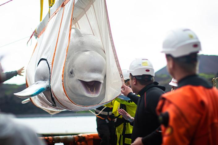"""Little Grey being moved in a sling from a tugboat during transfer to the """"care pool"""" where she and Little White will acclimatize to the sea sanctuary. (Photo: Aaron Chown - PA Images via Getty Images)"""