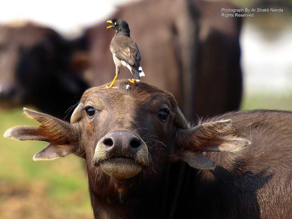 A <strong>Jungle Myna</strong> (<em>Acridotheres fuscus</em>) rides a domestic water buffalo in Mangalajodi and leaves a speck of white on its forehead.