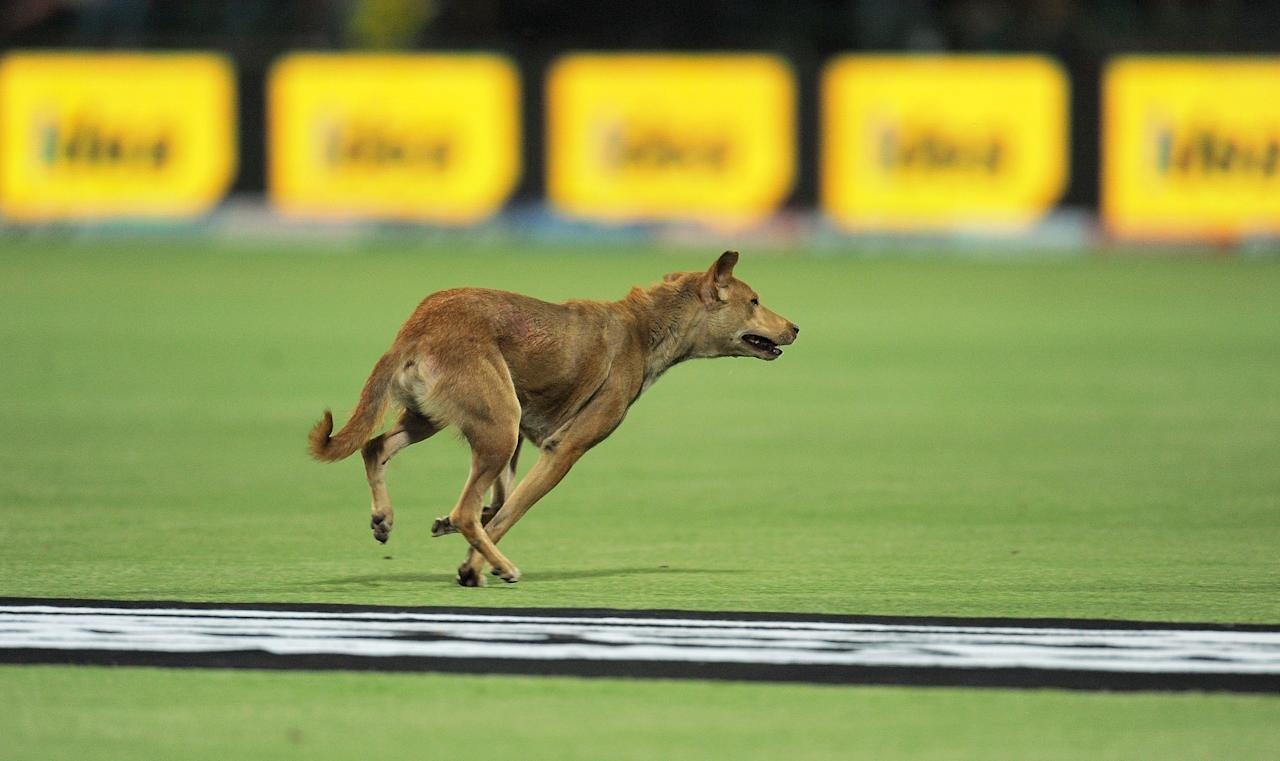A dog runs on the playing ground during the IPL Twenty20 cricket match between Delhi Daredevils and Mumbai Indians at the Feroz Shah Kotla stadium in  New Delhi on April 27, 2012.  AFP PHOTO/MANAN VATSYAYANA      RESTRICTED TO EDITORIAL USE. MOBILE USE WITHIN NEWS PACKAGE.        (Photo credit should read MANAN VATSYAYANA/AFP/GettyImages)