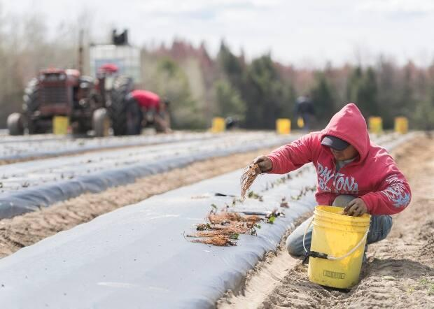 New rules governing how temporary foreign workers have to self-isolate in New Brunswick are raising concerns about farmers' abilities to afford to plant crops this season. (Graham Hughes/The Canadian Press - image credit)