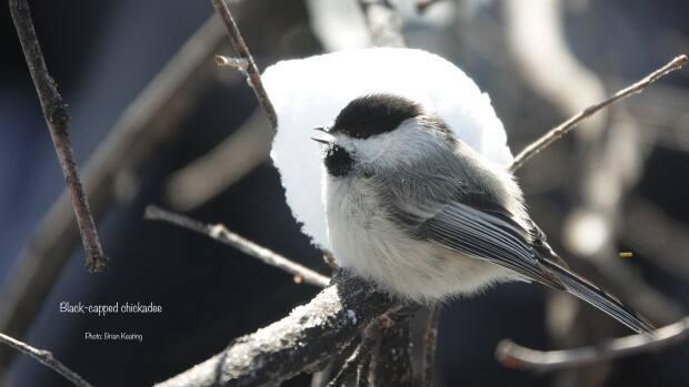 The black-capped chickadee has a distinctive black cap and bib, and is known to excavate a new nesting hole every year.