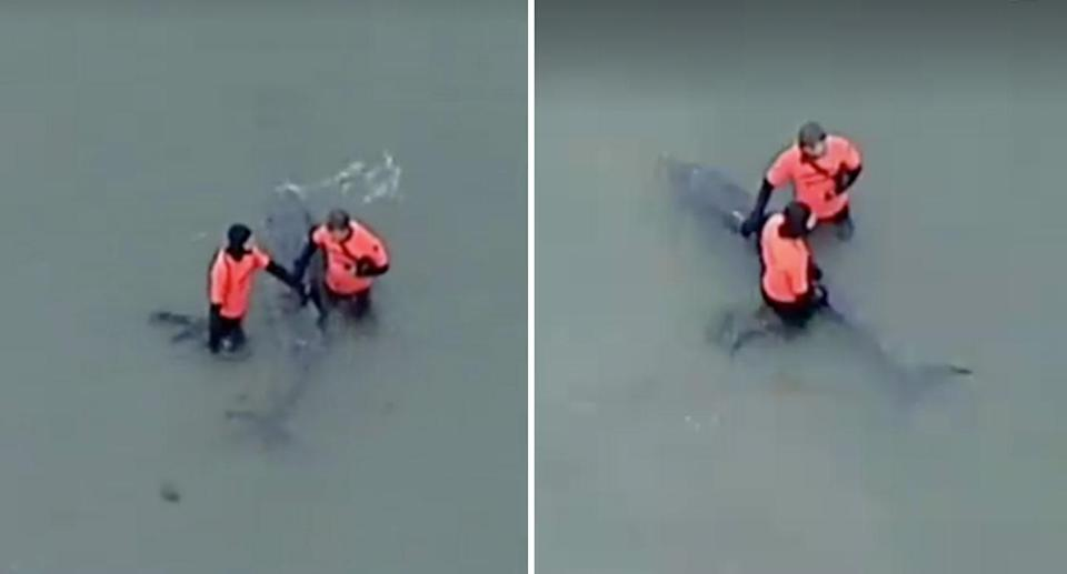 Rescuers desperately tried to save a baby whale stranded in Port Phillip Bay, off Altona in May 2018. The distressed mammal was forced to be euthanased. Source: 7 News
