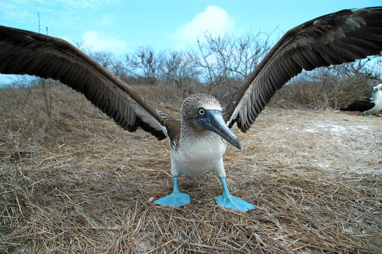 Blue-Footed Booby - Galapagos Islands, 2000 The wildlife of the Galapagos was made famous through Charles Darwin's research in the 1800s. The funny-looking blue-footed boobies do a clown-like courtship dance, showing off those big blue feet!