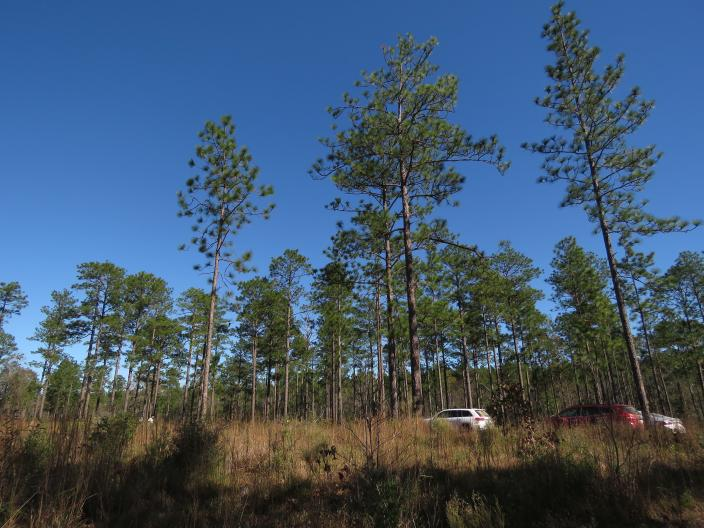 Longleaf pines, about 80 to 85 years old, stand tall in the DeSoto National Forest in Miss., on Wednesday, Nov. 18, 2020. An intensive effort in nine coastal states from Virginia to Texas is working to bring back the pines named for the long needles prized by Native Americans for weaving baskets. (AP Photo/Janet McConnaughey)