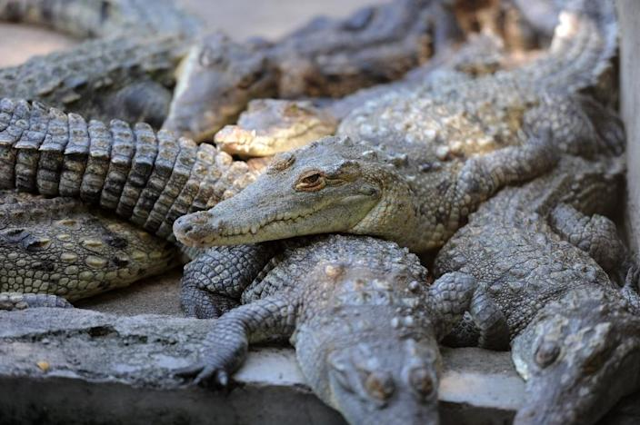More than 10,000 crocodiles are starving to death on a farm in Honduras after the wealthy family owning them had their assets frozen by the US (AFP Photo/Orlando Sierra)
