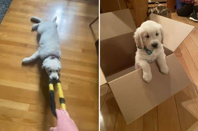 This golden retriever puppy loves to play a very lazy version of tug of war
