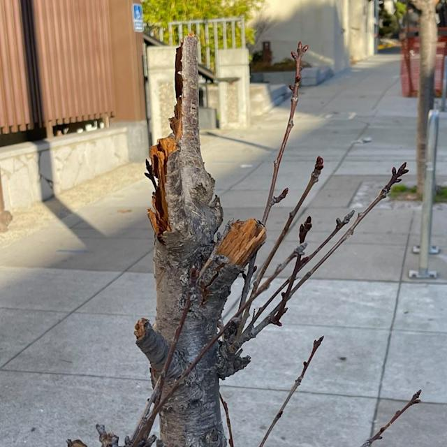 Vandals Destroy 50 Year Old Cherry Blossom Trees In Sf Japantown
