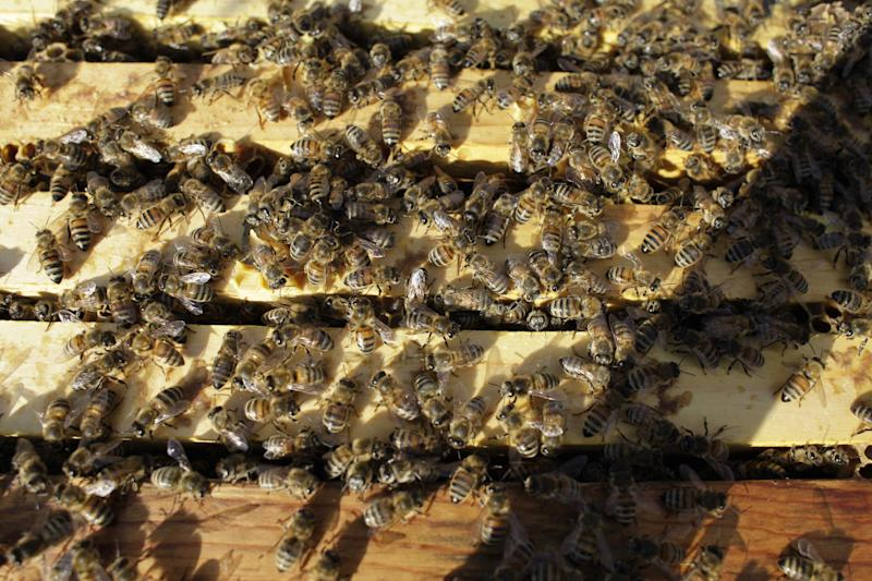 Honeybees cluster on top of the frames of an opened hive in an almond orchard Tuesday, February 12, 2013, near Turlock, Calif. Bee brokers, beekeepers and almond growers around the state say there is a shortage of healthy bees for this year's almond pollination, which starts mid-February. (AP Photo, Gosia Wozniacka)