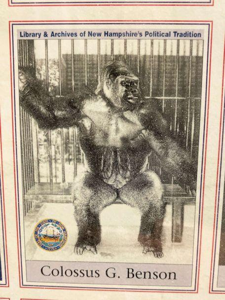 PHOTO: A photo baseball card for Colossus, a gorilla that tried to file to get on the 1980 New Hampshire primary ballot. (Christopher Donato/ABC News)