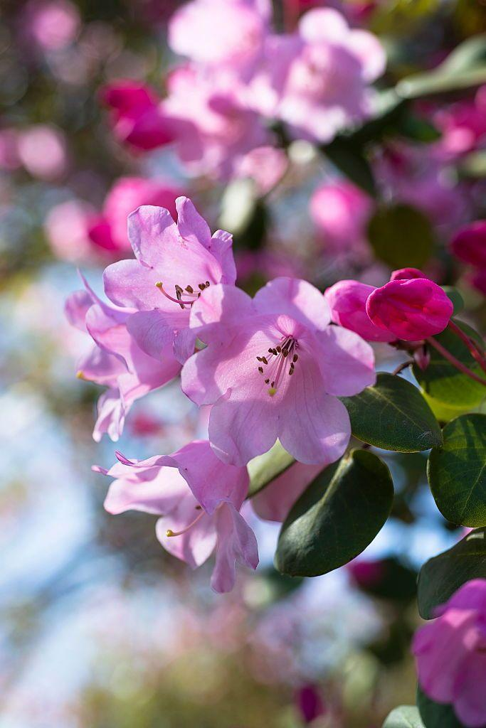 """<p>Azaleas should be planted in the spring in <a href=""""https://www.gardeningknowhow.com/ornamental/shrubs/azalea/azaleas-noteworthy-shrubs-for-any-garden.htm"""" rel=""""nofollow noopener"""" target=""""_blank"""" data-ylk=""""slk:lightly shaded areas"""" class=""""link rapid-noclick-resp"""">lightly shaded areas</a>. Exposure to excessive sunlight can actually burn their leaves, while too little light can deprive them of oxygen. With the right care, they can also make for excellent houseplants. </p><p><strong>Bloom season</strong>: Spring</p><p><a class=""""link rapid-noclick-resp"""" href=""""https://go.redirectingat.com?id=74968X1596630&url=https%3A%2F%2Fwww.1800flowers.com%2Fplants-azalea-topiary-southern-living-157201&sref=https%3A%2F%2Fwww.countryliving.com%2Fgardening%2Fg36596951%2Fbeautiful-flower-images%2F"""" rel=""""nofollow noopener"""" target=""""_blank"""" data-ylk=""""slk:SHOP AZALEAS"""">SHOP AZALEAS</a></p>"""