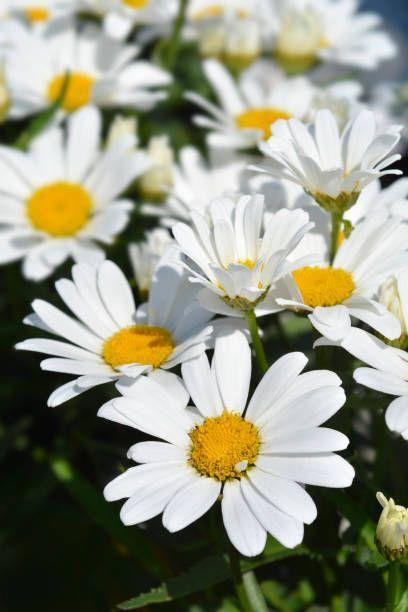 """<p>What's sunnier than the bright, happy faces of daisies? These perennials are hardy souls, and they offer weeks and weeks of summer color. Pollinators love them! They need full sun. </p><p><a class=""""link rapid-noclick-resp"""" href=""""https://www.provenwinners.com/plants/leucanthemum/amazing-daisies-daisy-may-shasta-daisy-leucanthemum-superbum"""" rel=""""nofollow noopener"""" target=""""_blank"""" data-ylk=""""slk:SHOP SHASTA DAISIES"""">SHOP SHASTA DAISIES</a></p>"""