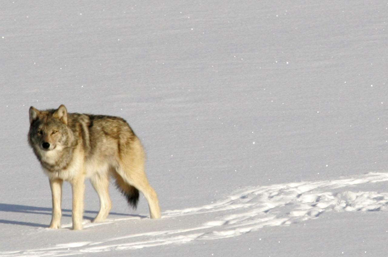 FILE - In this Feb. 10, 2006, file photo provided by Michigan Technological University, a gray wolf is shown on Isle Royale National Park in northern Michigan. Six decades after gray wolves made their way to the park by crossing a Lake Superior ice bridge from Canada, the population is on the verge of dying out. Scientists who lead one of the world's longest studies of predator and prey in a closed ecosystem say just nine wolves remain on the wilderness island park. (AP Photo/Michigan Technological University, John Vucetich)