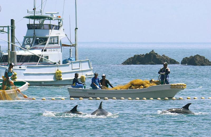 Controversial Dolphin Hunt, Likely to Leave 1,400 Dolphins Captured or Killed, Begins in Japan