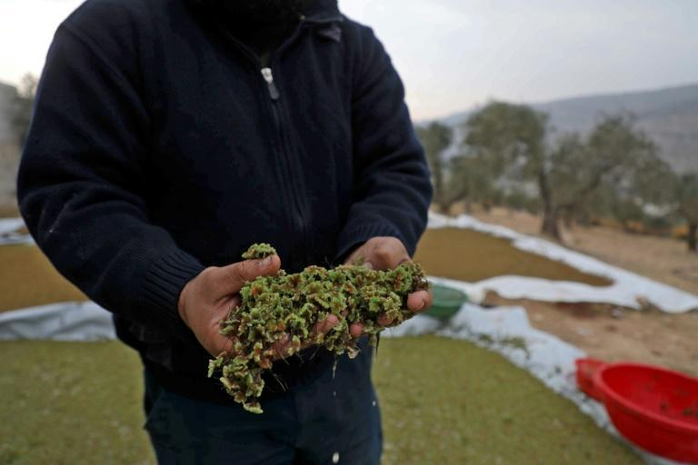 Syrian farmer Ayman Ibrahim is so satisfied with the results that he started selling his surplus Azolla production to other farmers