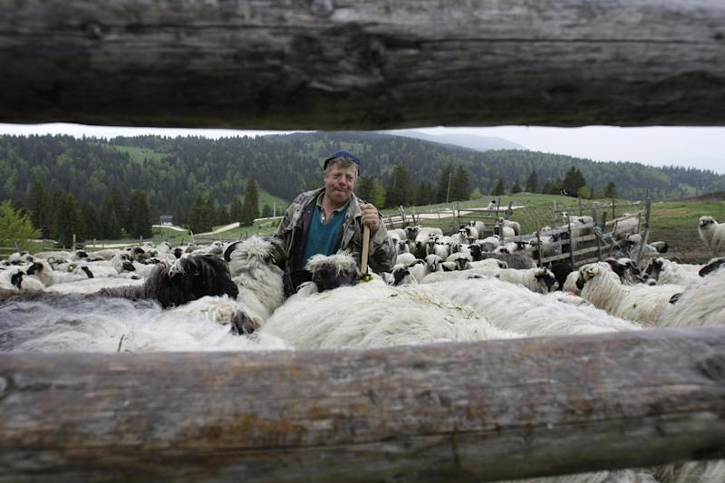 FOR STORY BALKANS LAST NOMADS - In this photos taken on Tuesday, May 21, 2013, Bosnian man Ramo Rubanovic, 48, whistles to his flock of sheep in a pen in the remote mountainous area at Vlasic in central Bosnia, near the town of Travnik 140 kms west of Sarajevo. Zedina Rubanovic and her family are some of Europe's last remaining nomads, a hardy group of families who roam from their winter habitat in the Bosnian lowlands to the mountains where they make cheese and shelter in austere cabins. This small band of nomadic families have dodged wars, minefields and the growth of rural populations, but their existence is threatened by the break-up of Yugoslavia in the 1990s and in 2013 Croatia being subsumed into Europe, leaving them hemmed into one geographic area of Bosnia, unable to cross the borders of hostile new states. (AP Photo/Amel Emric)